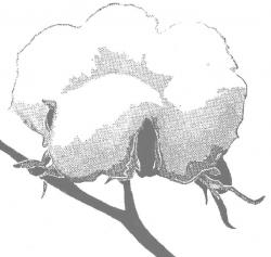 Cotton Clip Art