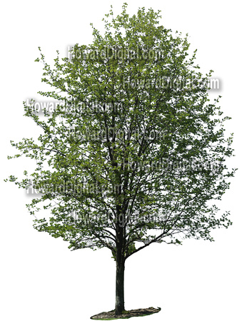 Howard Digital   Decidious Trees   Clip Art   High Resolution Digital