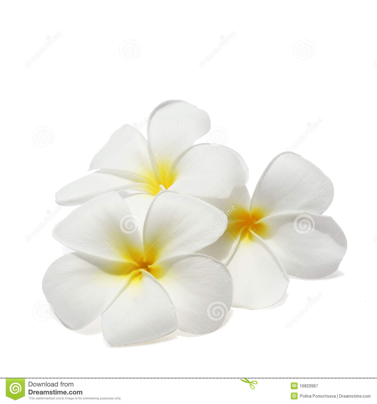 Tropical Flowers Frangipani Isolated On White Royalty Free Stock ...