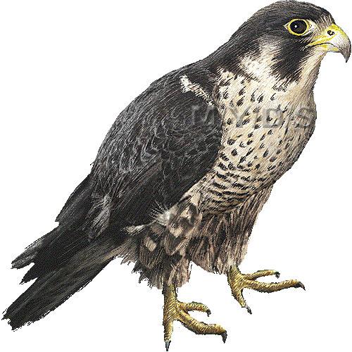 falcon clipart clipart suggest falcon clipart mascot falcon clipart black and white