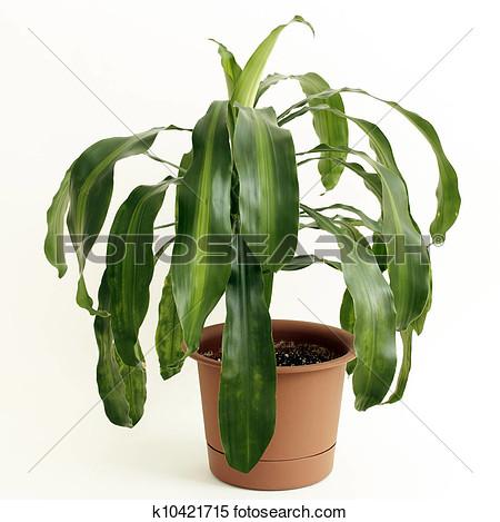 how to grow corn plant