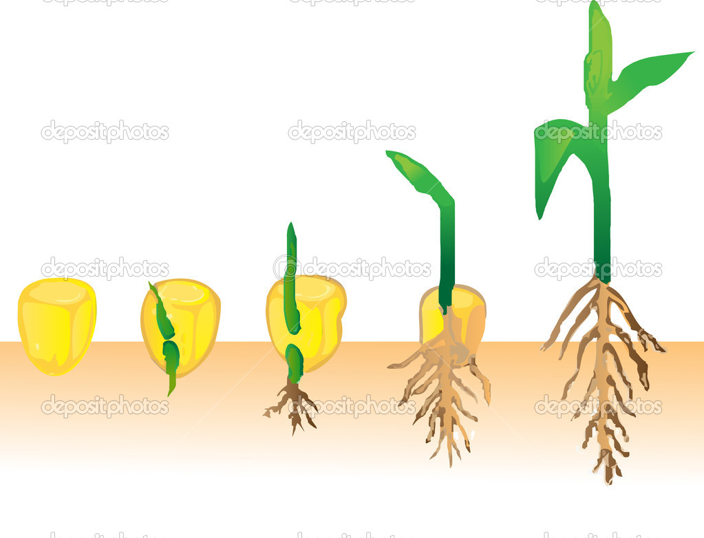 Corn Plant Growing Clipart - Clipart Kid