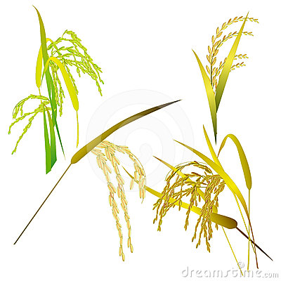 Stock Image  Rice Grain Paddy And Leaf Isolated On White  Image