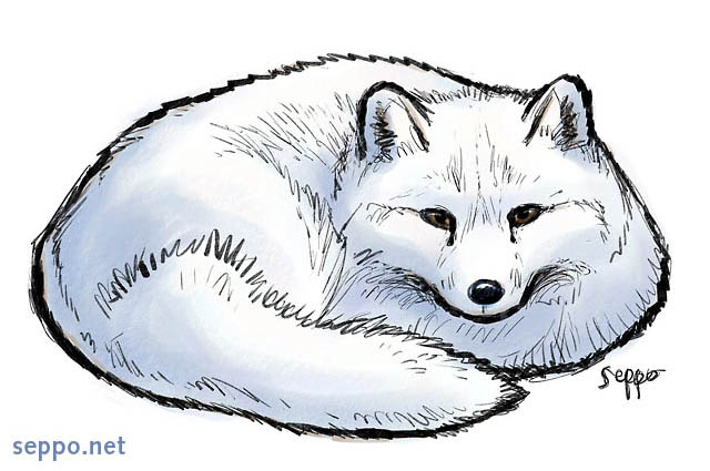 Arctic Fox Keywords  Arctic Fox White Fox Polar Fox Snow Fox Winter