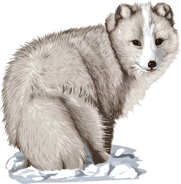 Go Back   Gallery For   Arctic Fox Clip Art