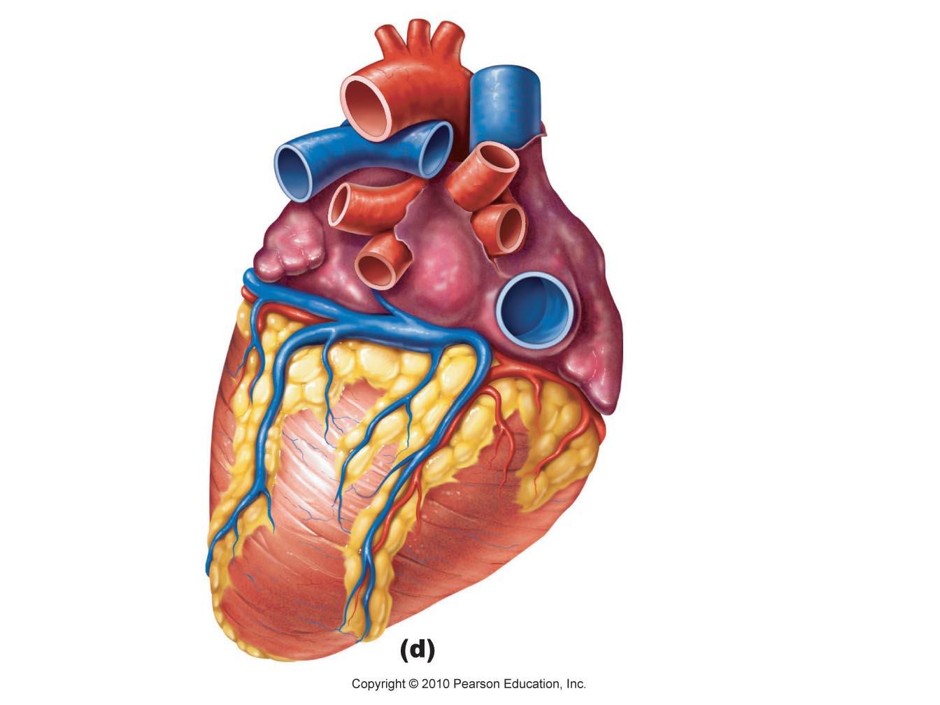 Heart Diagram Clipart - Clipart Suggest