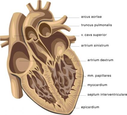 heart diagram clipart clipart kid : cow heart diagram - findchart.co