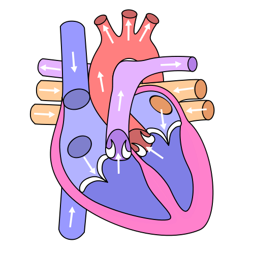 Simple Heart Diagram For Kids   Clipart Best