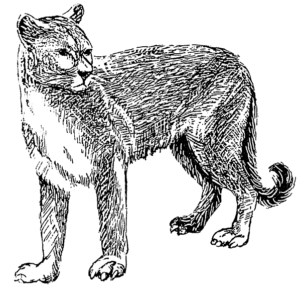Black And White Bw Coloring Page Cougar Mountain Cat Mountain