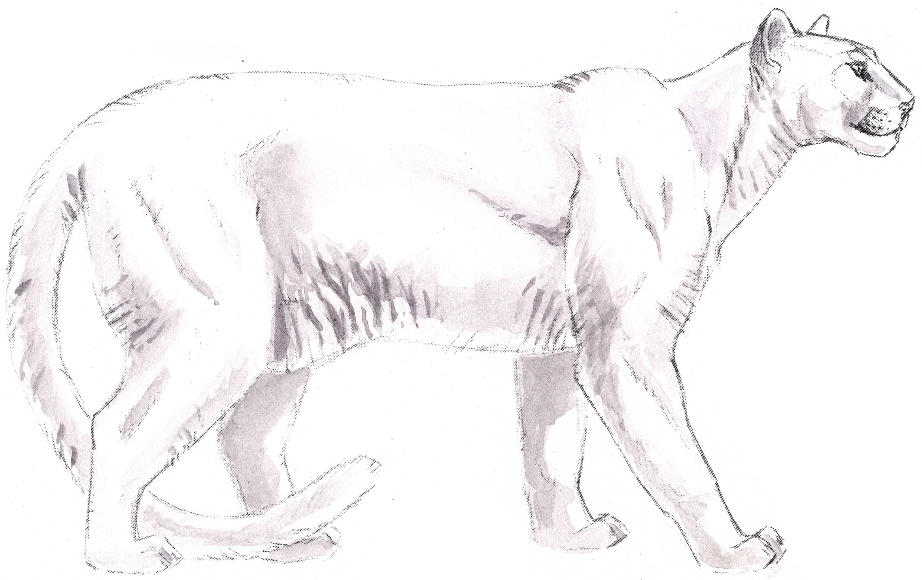 Mountain Lion Drawing How To Draw A Mountain Lion