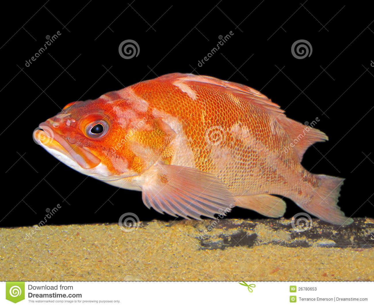 Red Snapper Stock Photos   Image  26780653