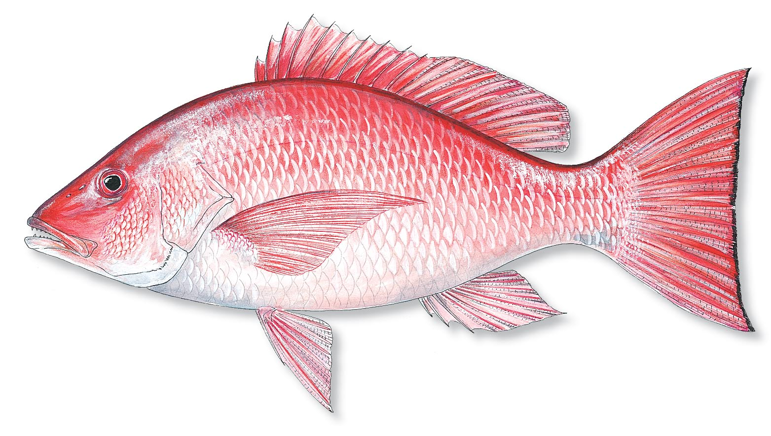 Red snapper clipart clipart suggest for Snapper fish florida