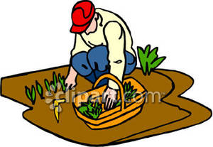 Man Harvesting Food From His Vegetable Garden   Royalty Free Clipart