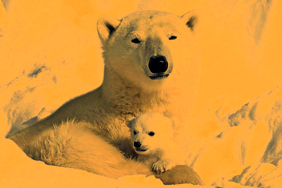 Download Mother And Baby Polar Bear   Lomo Hd Wallpaper For Free