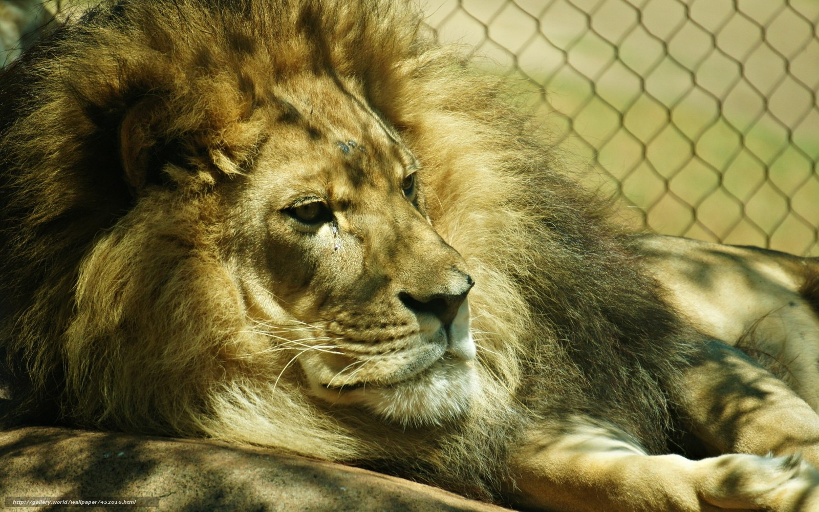 Download Wallpaper Lion Zoo Background Free Desktop Wallpaper In The