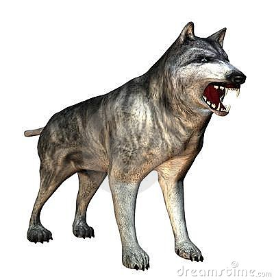 Snarling Isolated Wolf With Teeth Showing