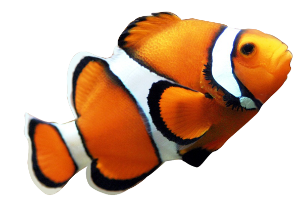 Clown Fish Clipart   Clipart Panda   Free Clipart Images