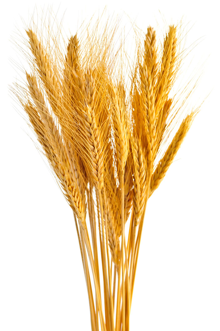 free clipart images wheat - photo #32