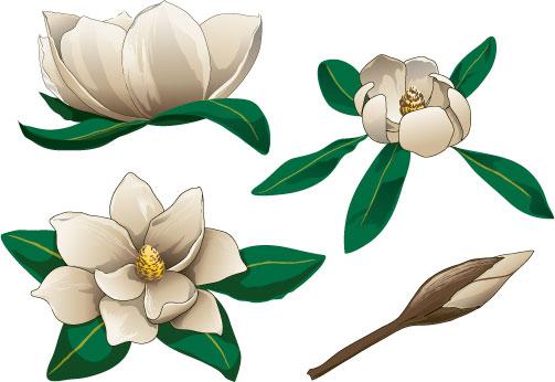 Clip Art Magnolia Clipart magnolia blossom clipart kid clipart