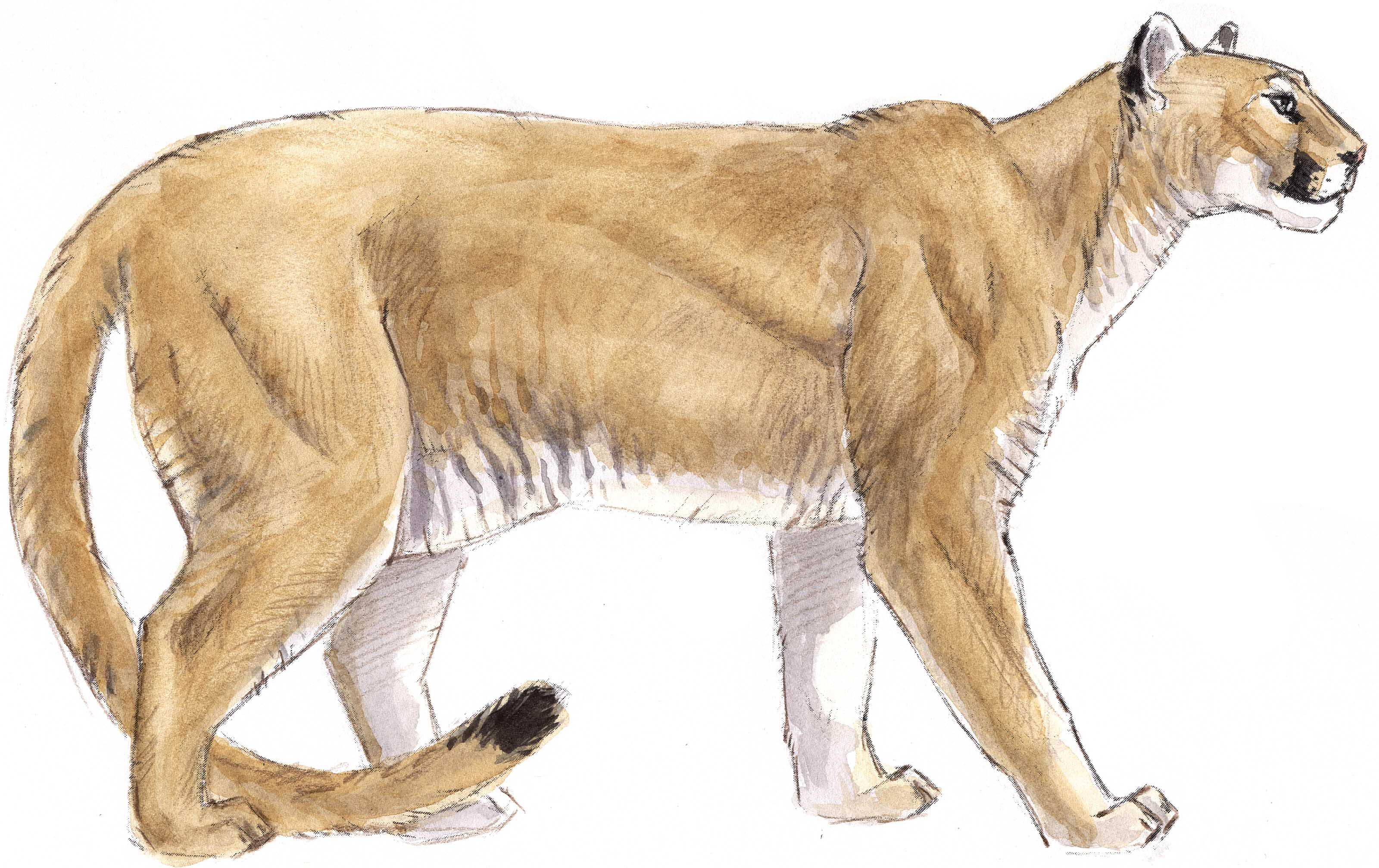 How To Draw A Mountain Lion  Fur Texture    John Muir Laws