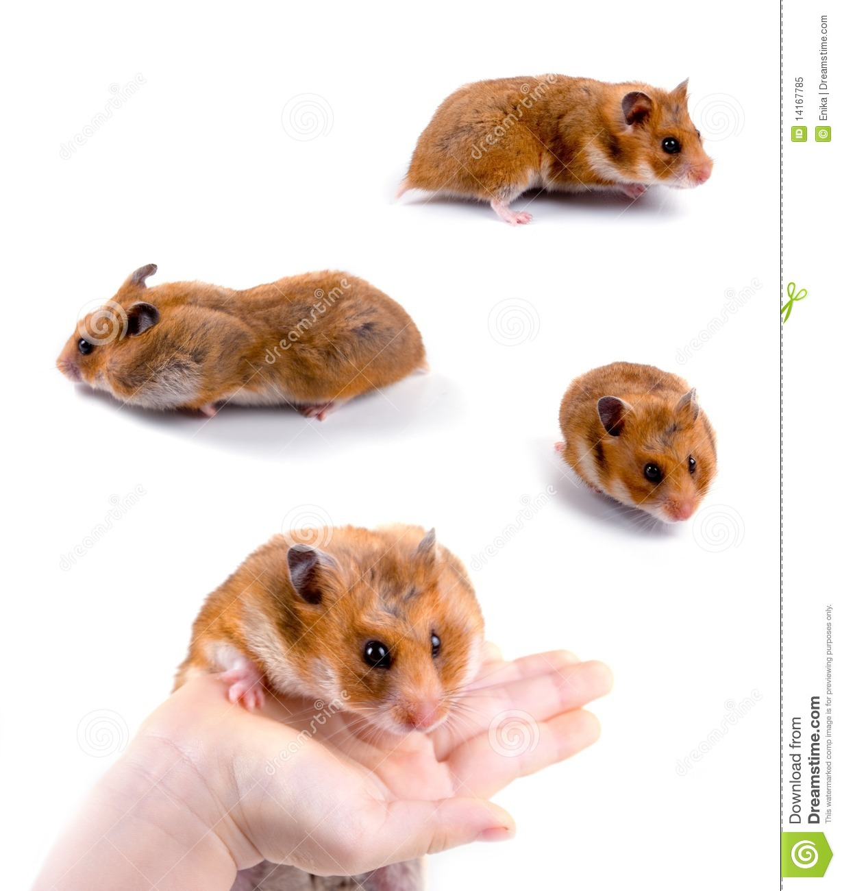 Hamsters Isolated On A White Background Collection