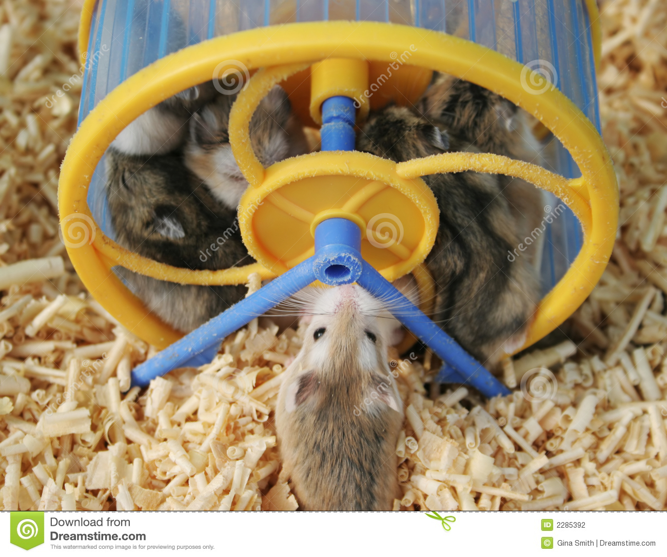 Hamsters Stock Photography   Image  2285392