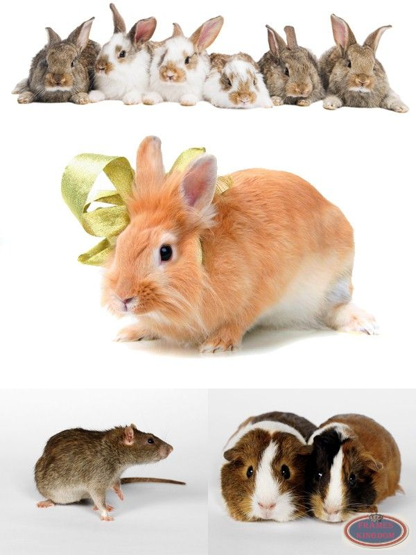 Rodents Such As Mice Rabbits Hamsters Guinea Pigs