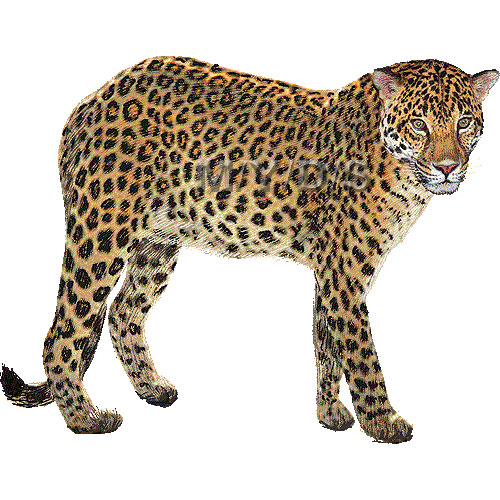 Leopard Clipart - Clipart Kid