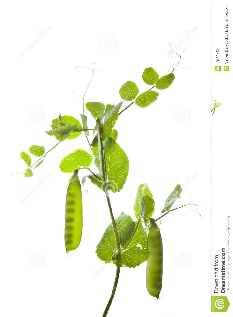 Pea Plant Stock Image Image 10262451 URDc6U Clipart on Preschool Storytime