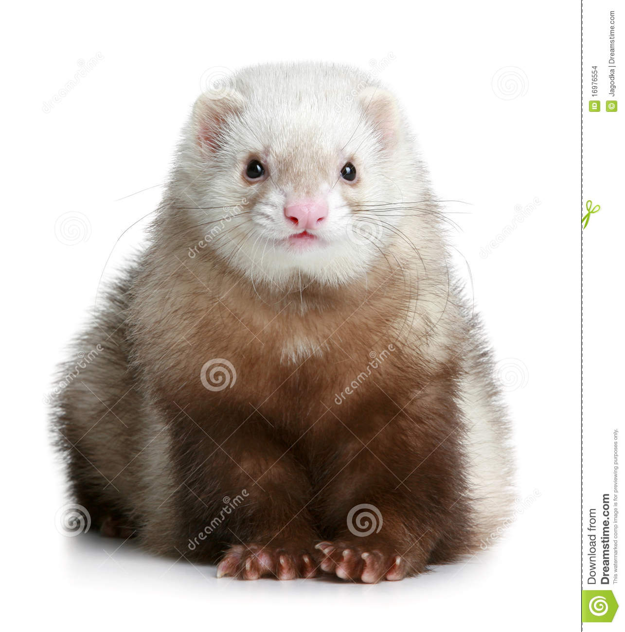 Funny Ferret Stock Images   Image  16976554