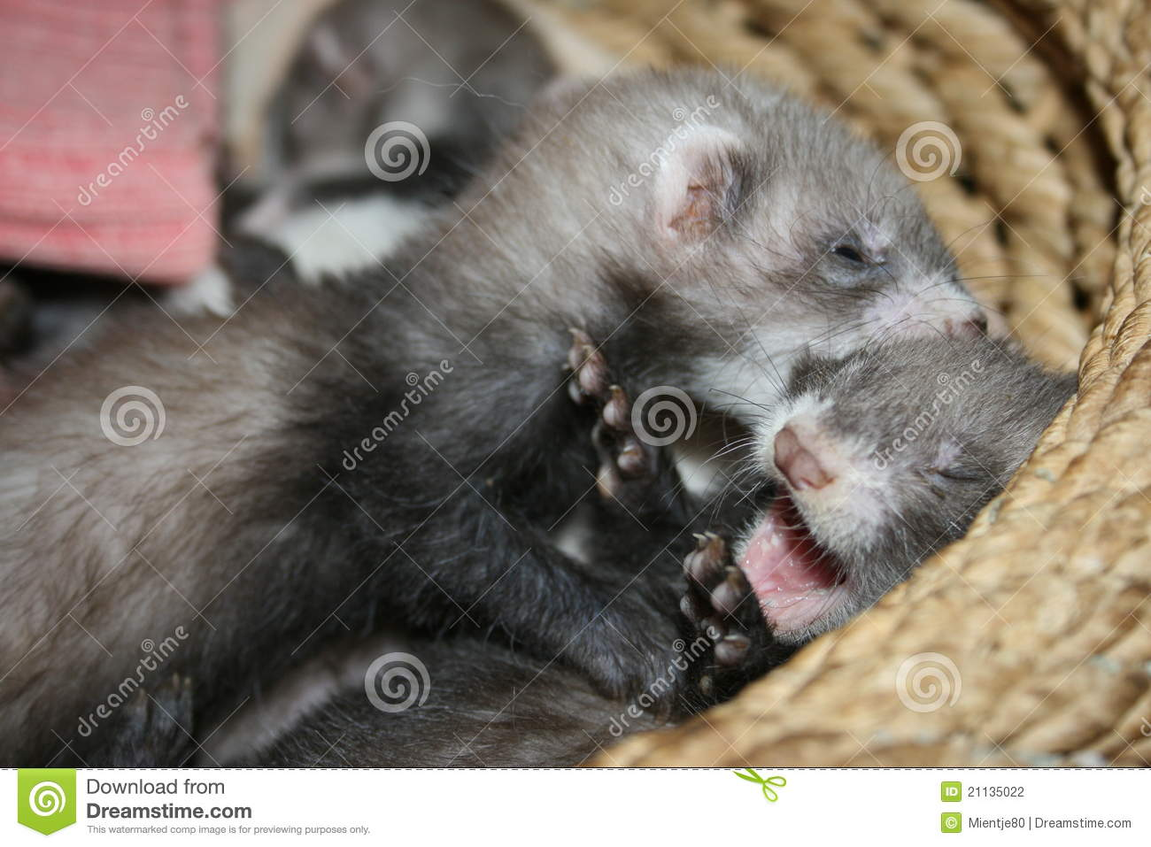 Playing Ferret Kits Stock Photography   Image  21135022