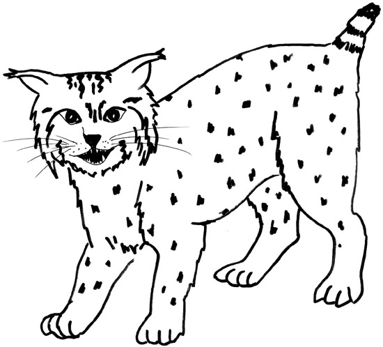 Bobcat Clipart Images   Pictures   Becuo