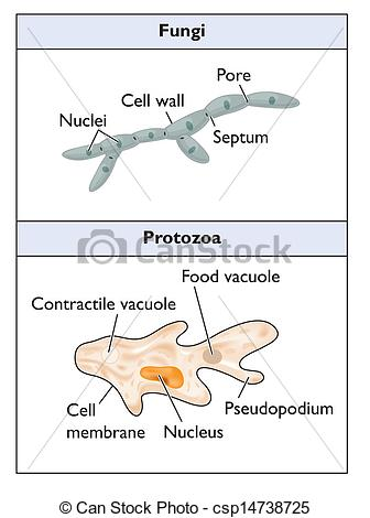 Of Typical Fungi And Protozoa Csp14738725   Search Clipart