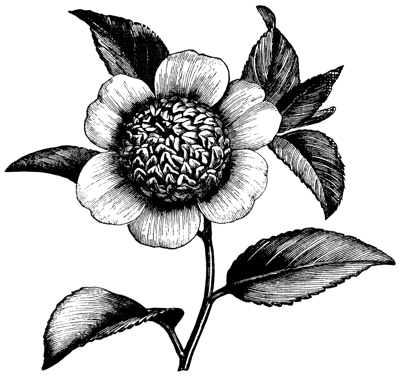 Black And White Clip Art Vintage Flower Clipart Floral Graphics Free