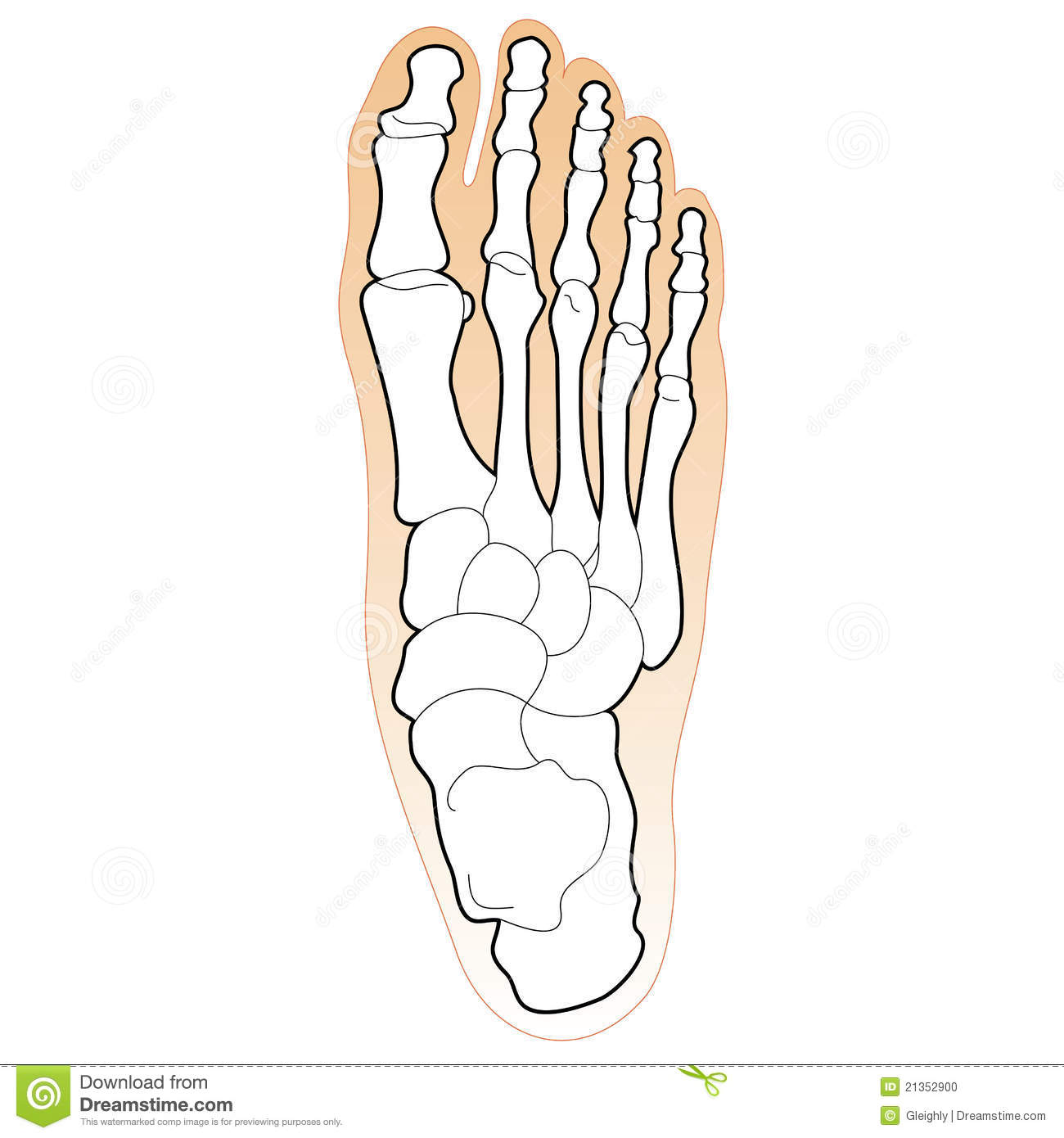 Bones Of The Human Foot Stock Photo   Image  21352900
