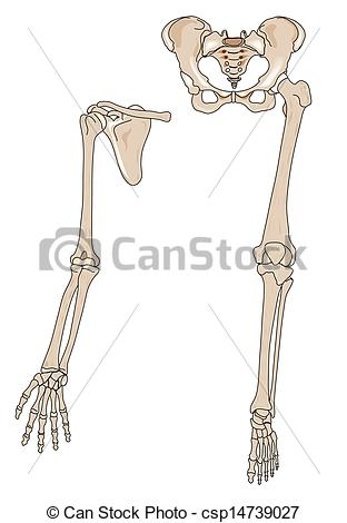 Clip Art Of Limb Bones   Human Arm And Leg Bones Csp14739027   Search