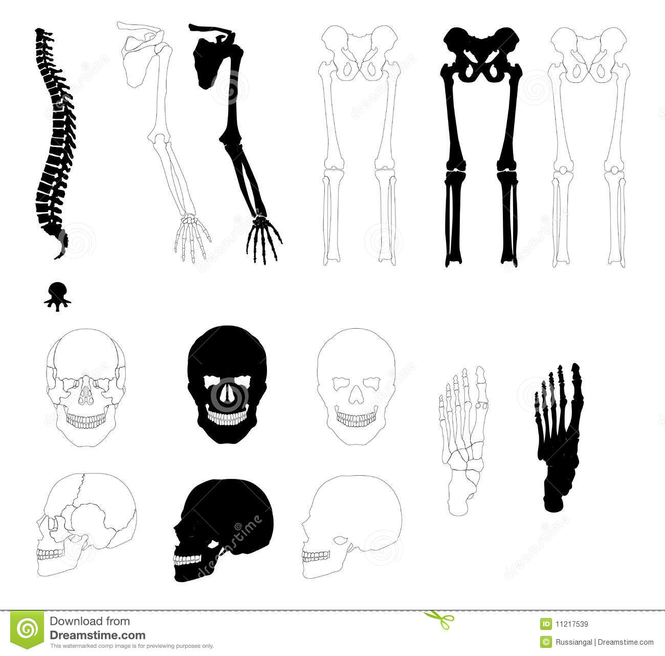 Human Bones Royalty Free Stock Images   Image  11217539