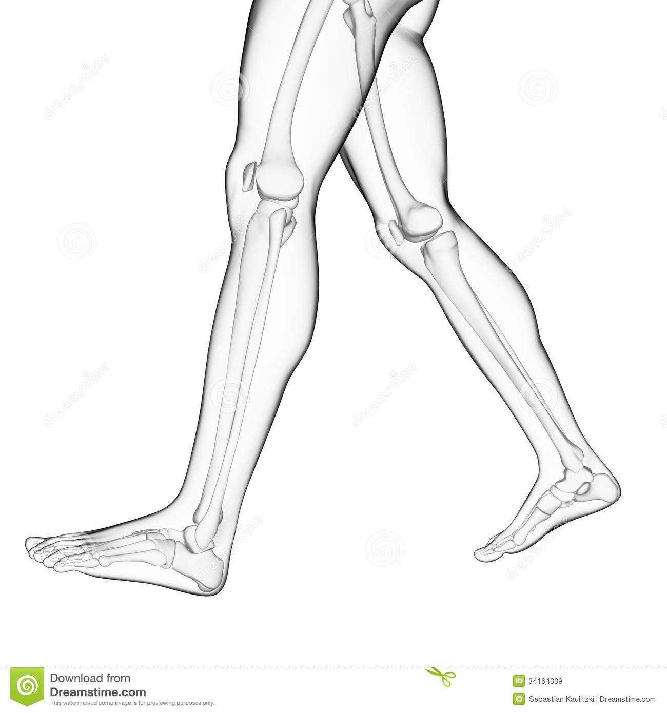 The Leg Bones Royalty Free Stock Images   Image  34164339