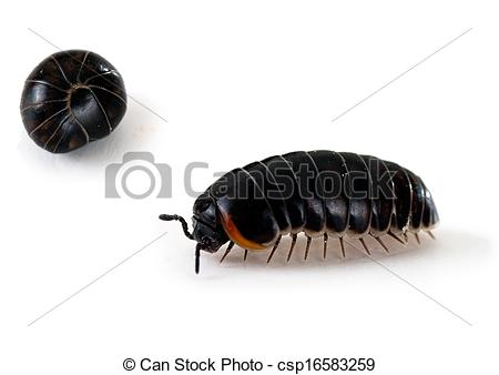 Rolly Polly Bug Clip Art Pill Bug Roly Poly Macro