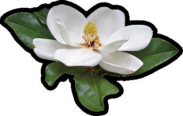 magnolia blossom clip art - photo #7