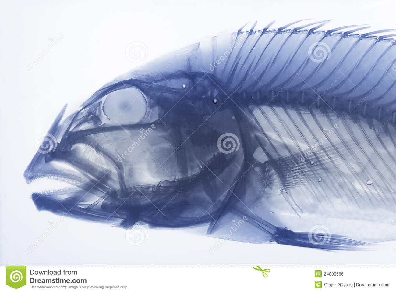 Xray Of A Fish Royalty Free Stock Image   Image  24800666
