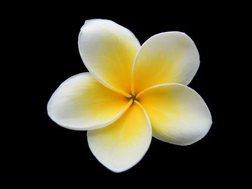 yellow hibiscus clip art