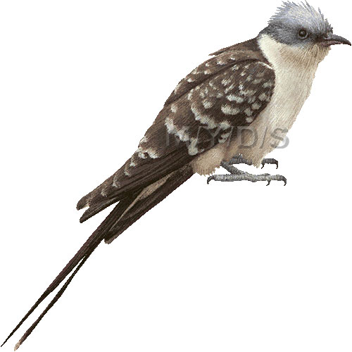 Cuckoo Bird Clipart - Clipart Suggest