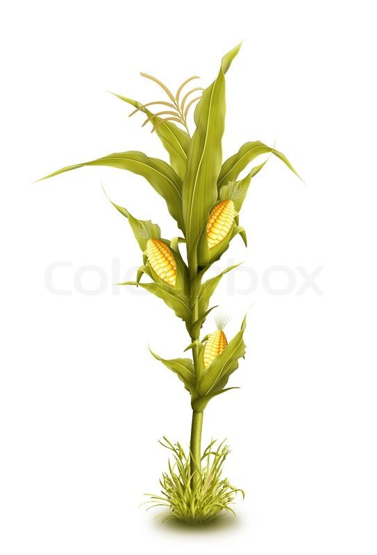 One Corn Stalk corn stalk clipart - clipart kid