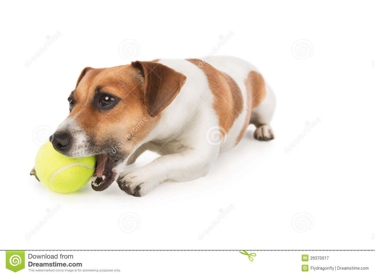 Dog Is Chewing Yellow Tennis Ball Royalty Free Stock Photography