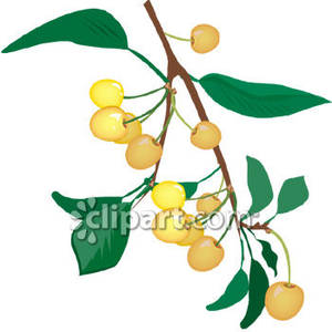 Bing Cherries Growing In A Tree   Royalty Free Clipart Picture