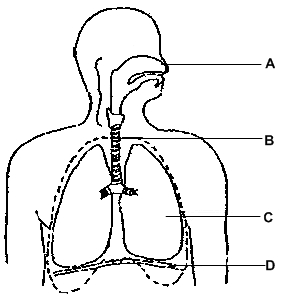 Label Respiratory System Diagram   Clipart Best