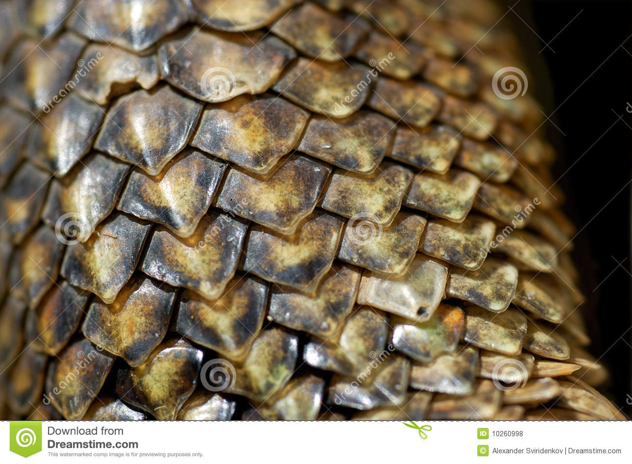 Iguana Scales Close Up Royalty Free Stock Photos   Image  10260998