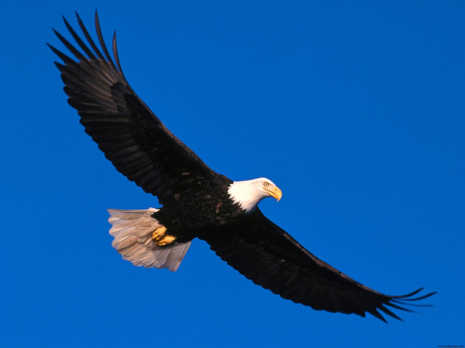 Eagle Soaring High Wallpapers   Hd Wallpapers