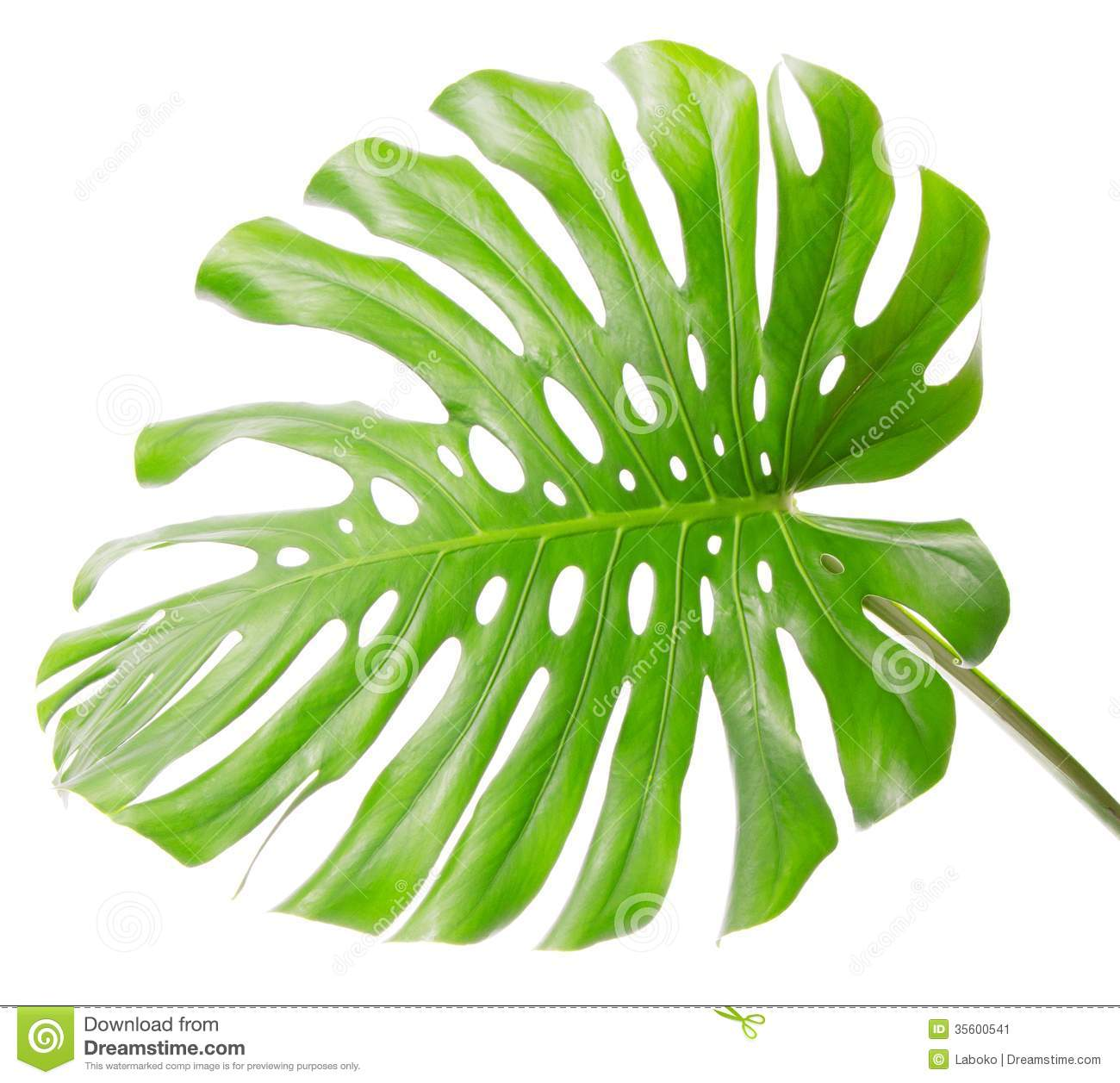 Bright Tropical Leaf Close Up With Holes Stock Image   Image  35600541
